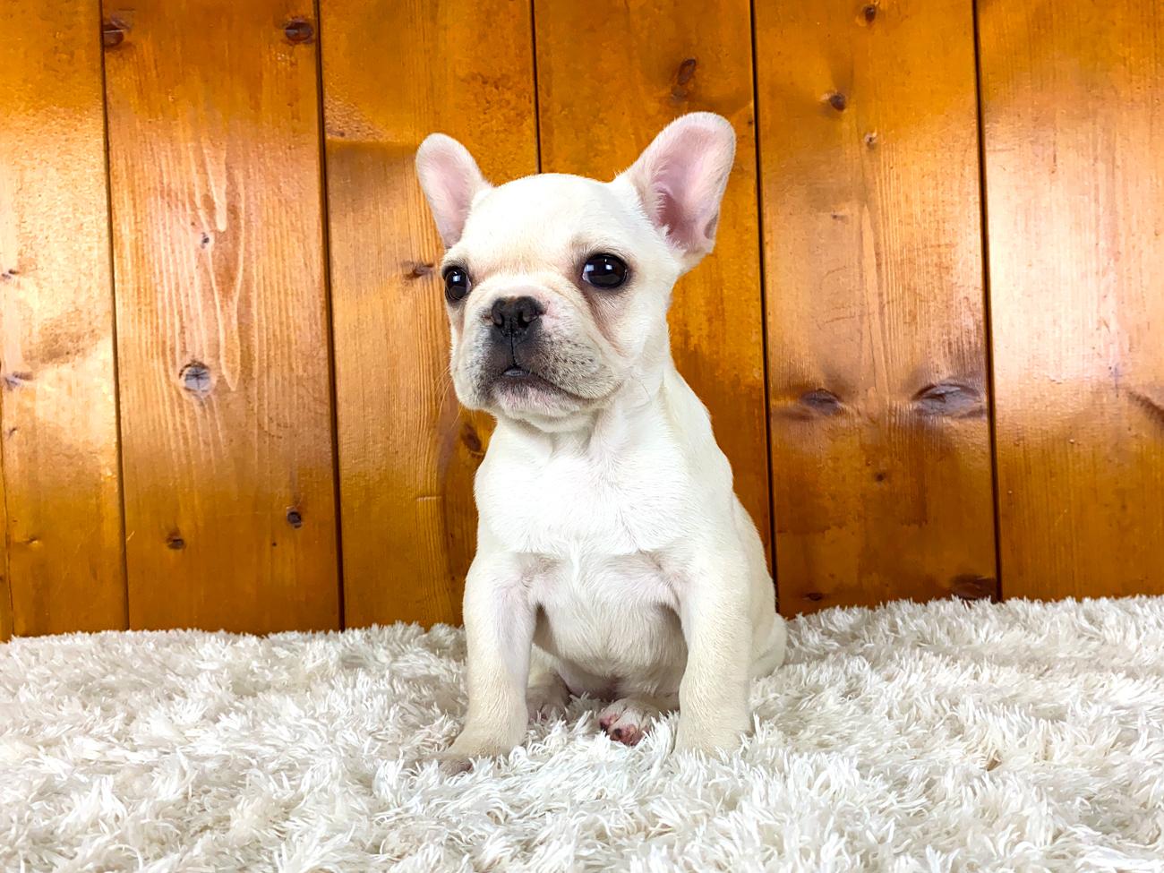 フレンチブルドッグの子犬 クリームの女の子 10202