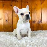 フレンチブルドッグの子犬 クリームの女の子 10201