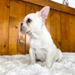 フレンチブルドッグの子犬 クリームの女の子 10203